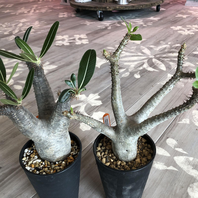 packypodium  makayense(M size)※発根済み株