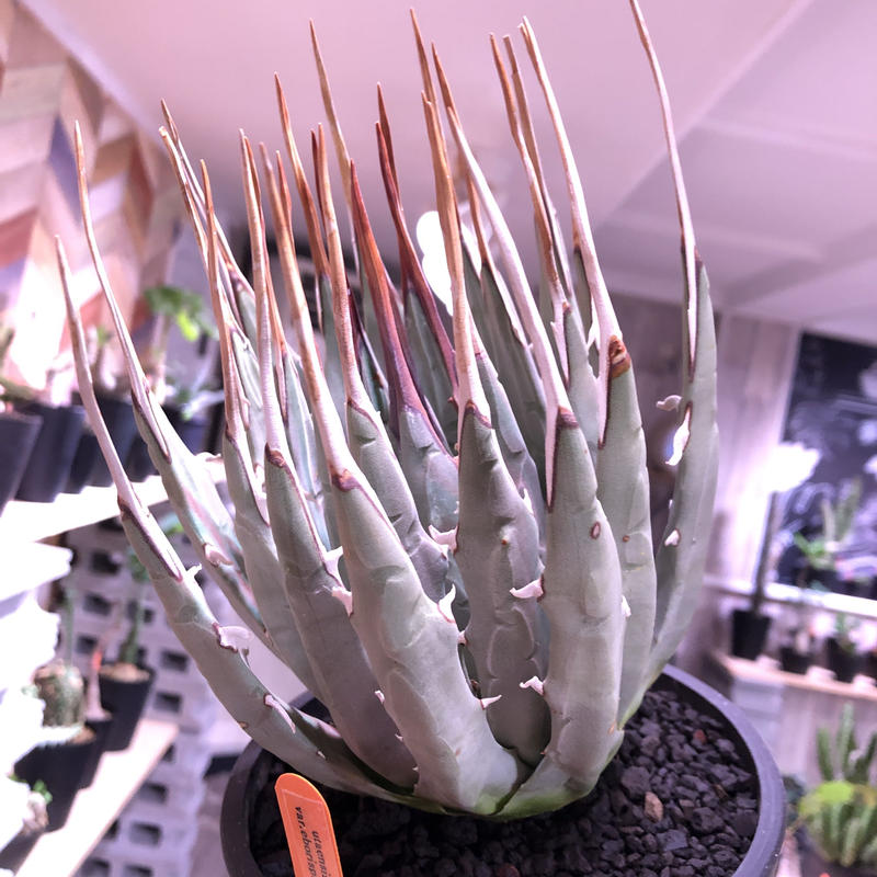 agave    utaensis  eborispina《L size》※超美株‼︎