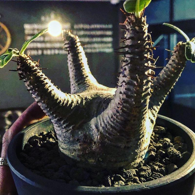 packypodium  makayense《M size》