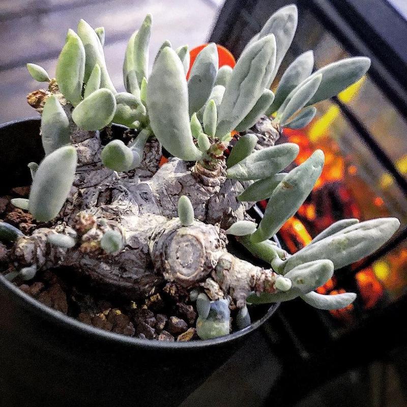 othonna   clavifolia《M size》