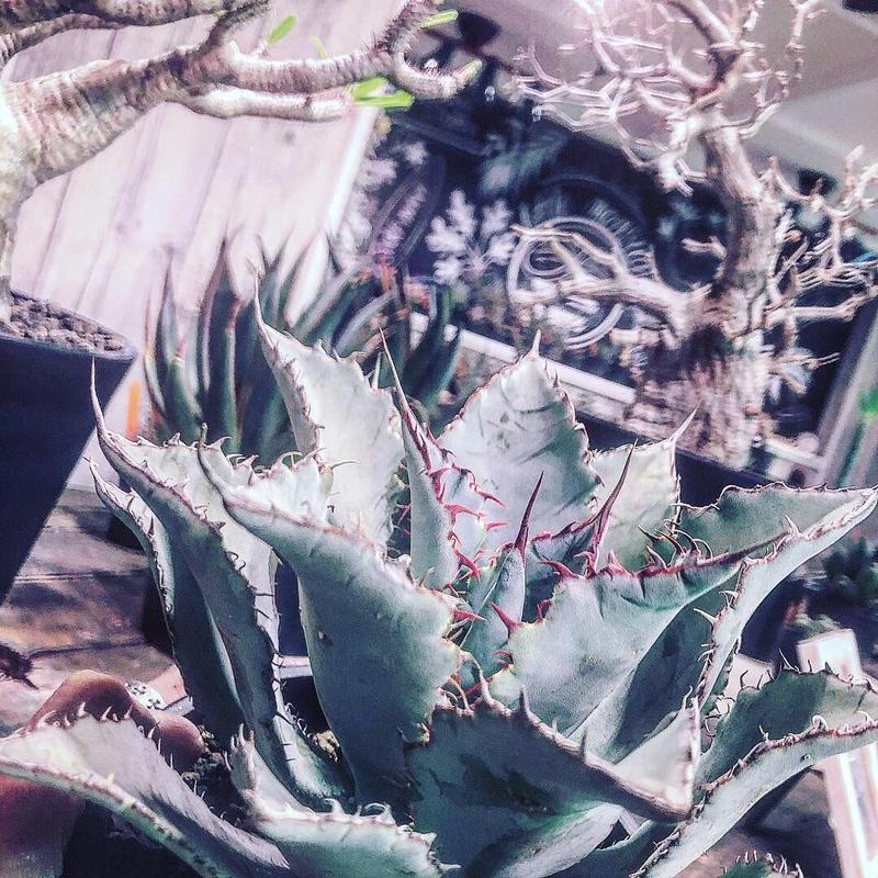 agave    guadala jarana  trelease   《M size》