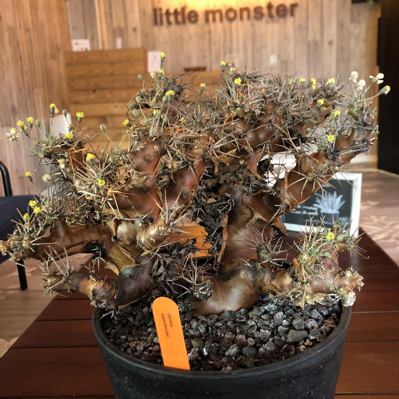 othonna  euphorbioides(L L  size)