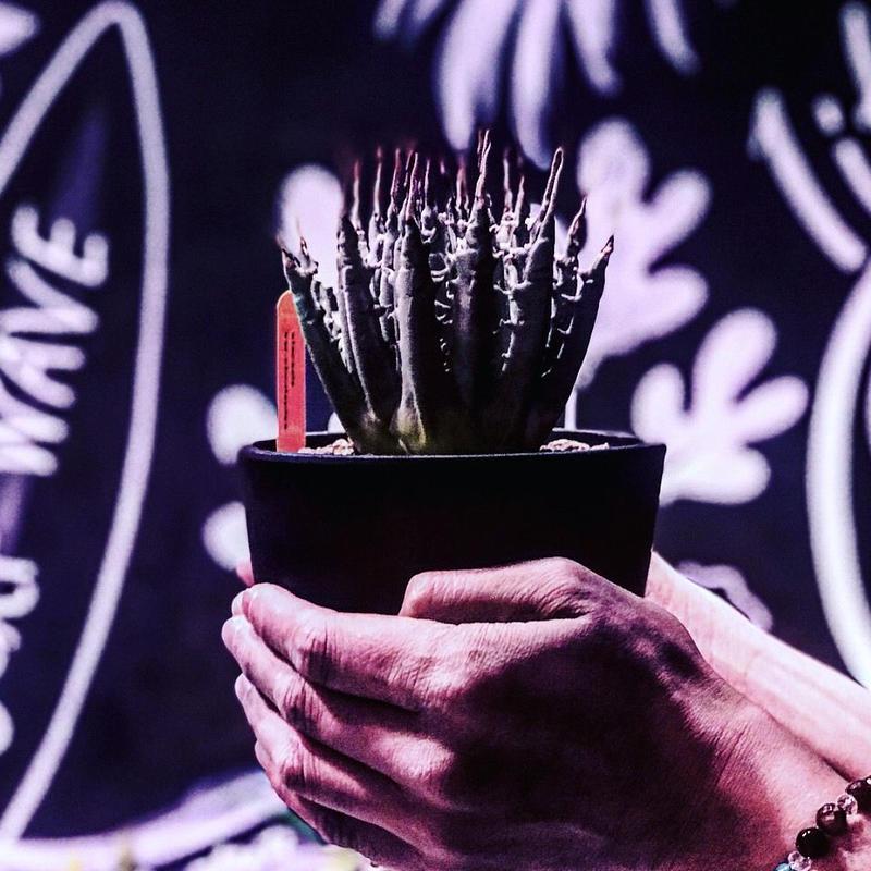 agave   utaensis  eborispina《M size》
