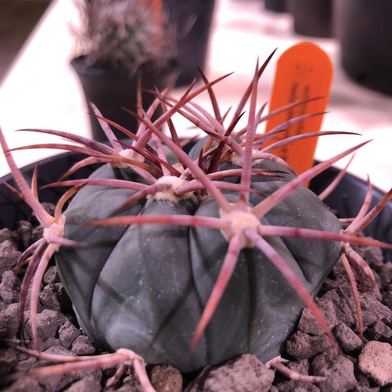 echinocactus   太平丸