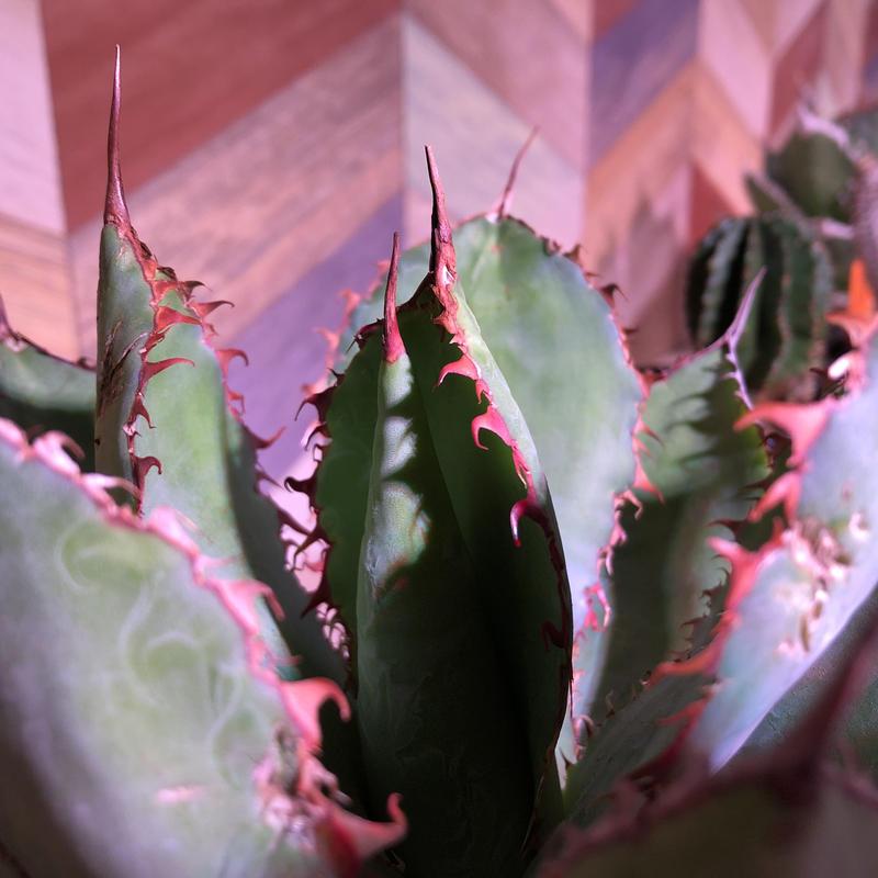 agave     bovicornuta《M size》