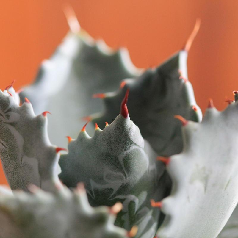 agave isthmensis アガベ イツスメンシス