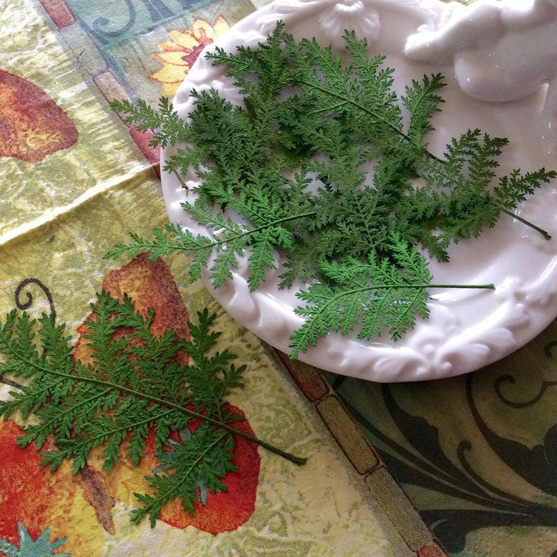 タチシノブ  グリーン 押し花
