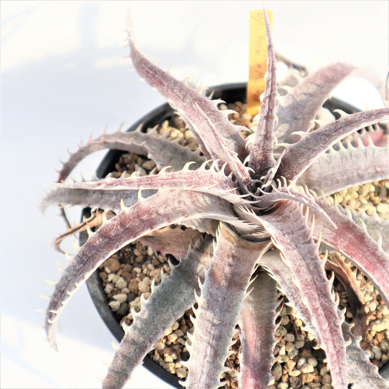 Dyckia  Rock x ML Red