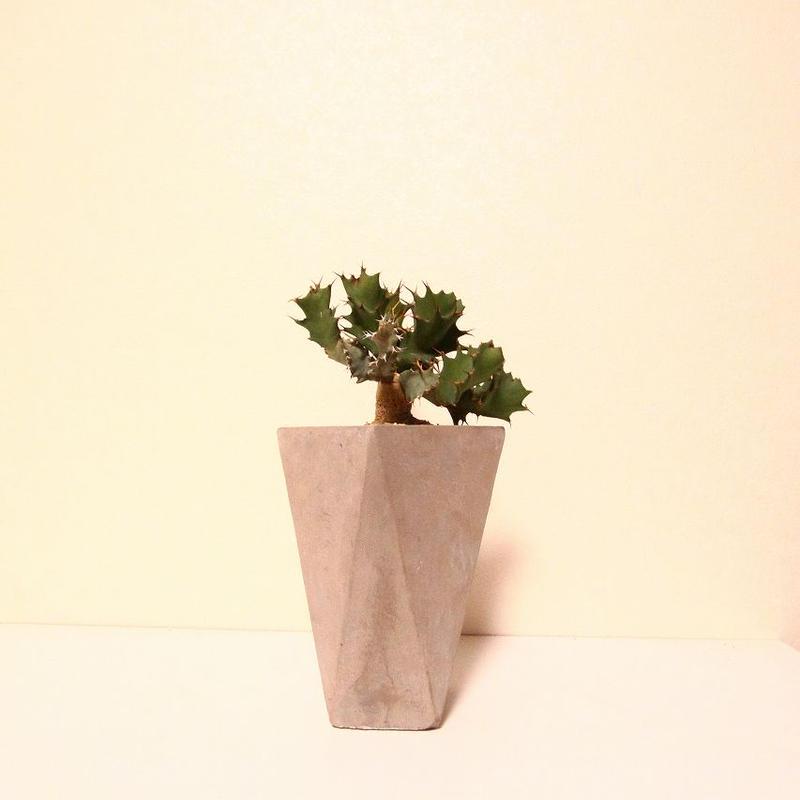 ユーフォルビア トルチラマ Euphorbia tortirama no.2