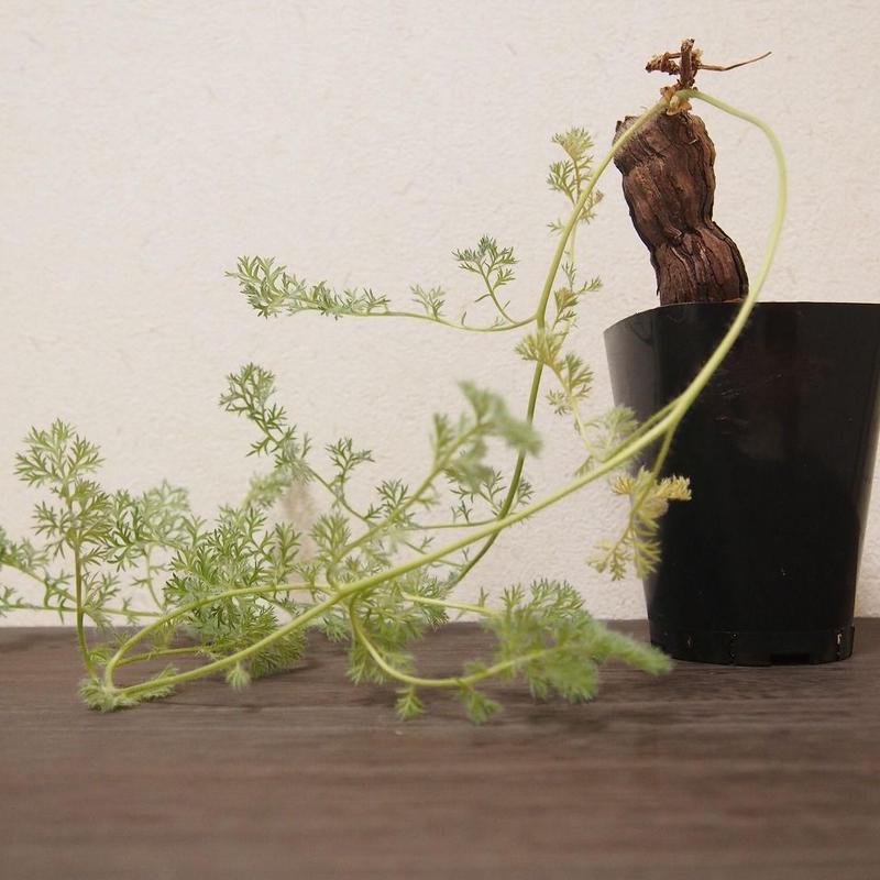 ペラルゴニウム トリステ Pelargonium triste