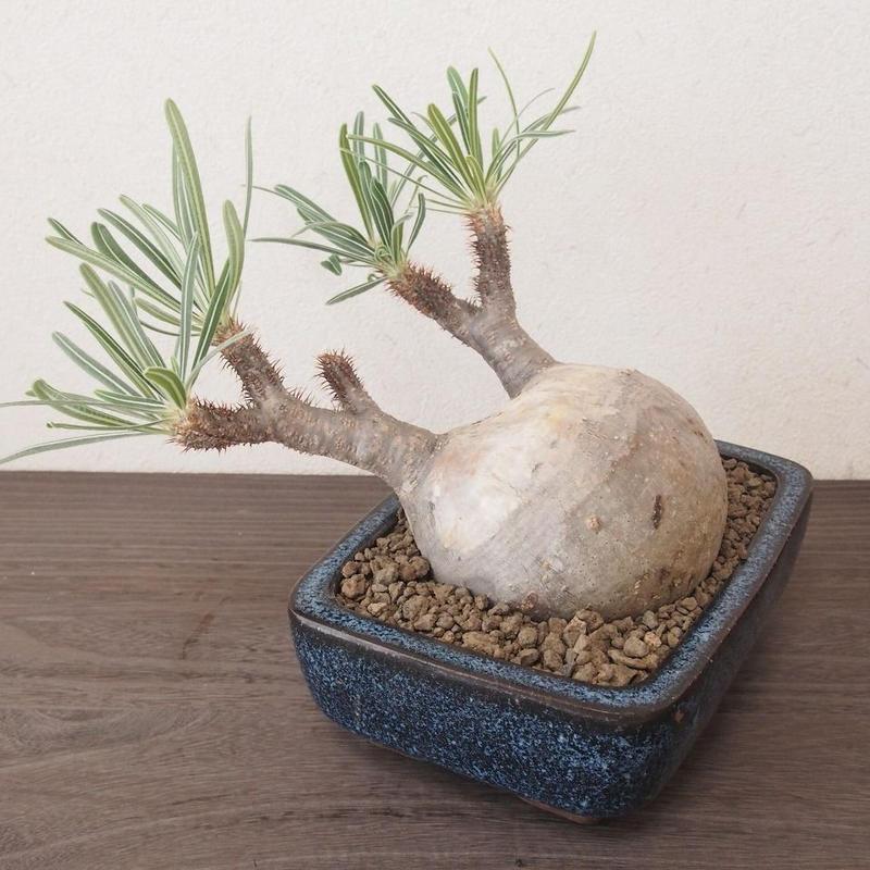 パキポディウム グラキリス Pachypodium Gracilius no.2