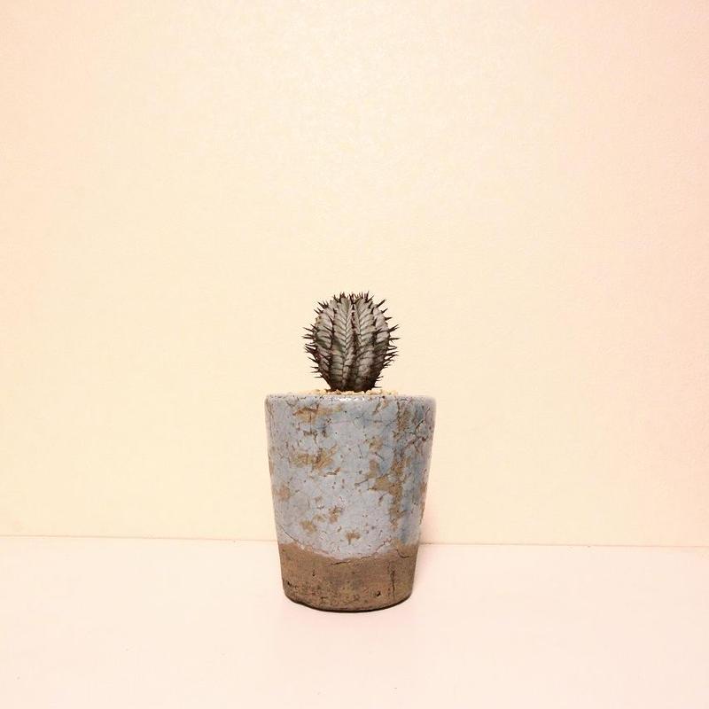 ユーフォルビア・ ゼブラホリダ Euphorbia horrida var. zebrina