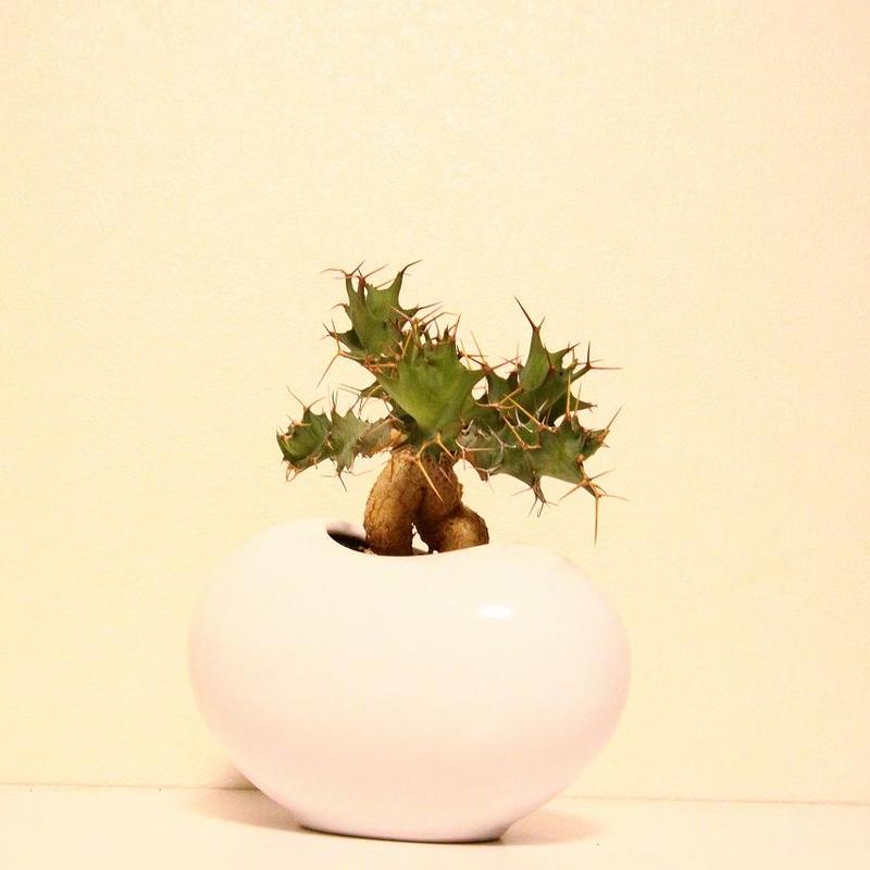 ユーフォルビア トルチラマ Euphorbia tortirama