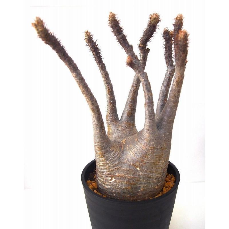 Pachypodium    パキポディウム グラキリス   №2