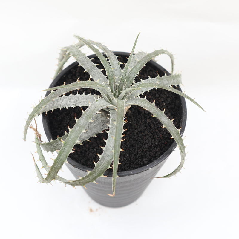 ディッキア dyckia Delicata from F1 x Goehringii Red