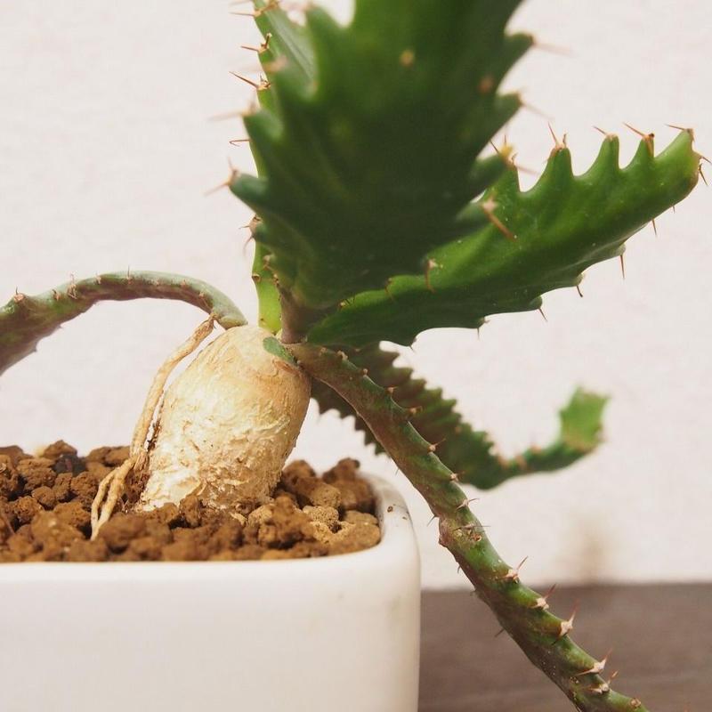 ユーフォルビア ステラータ Euphorbia stellata no.5