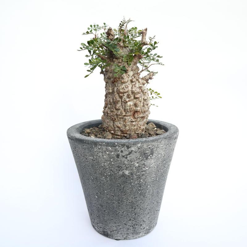 オペルクリカリア パキプス  no.4