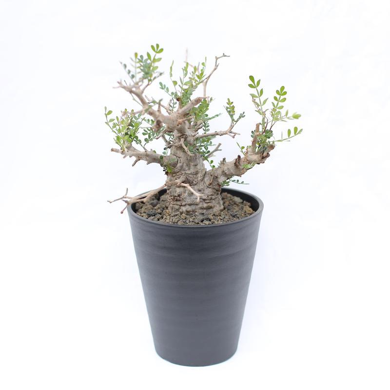 オペルクリカリア パキプス  no.10