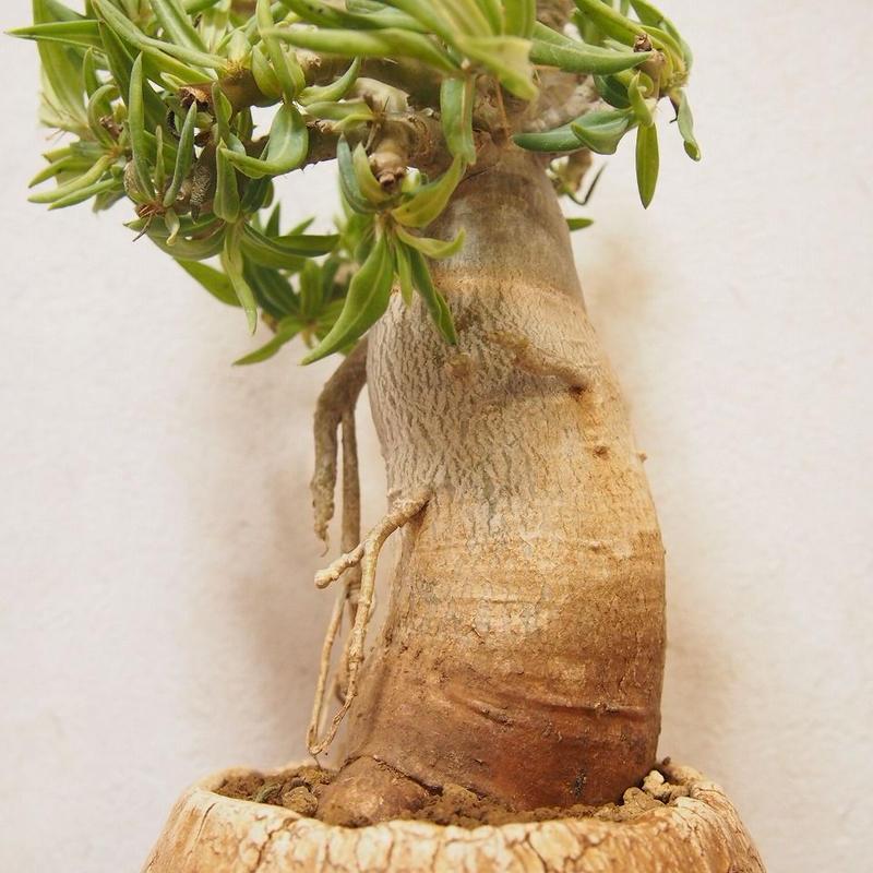 パキポディウム ビスピノーサム Pachypodium bispinosum no.2