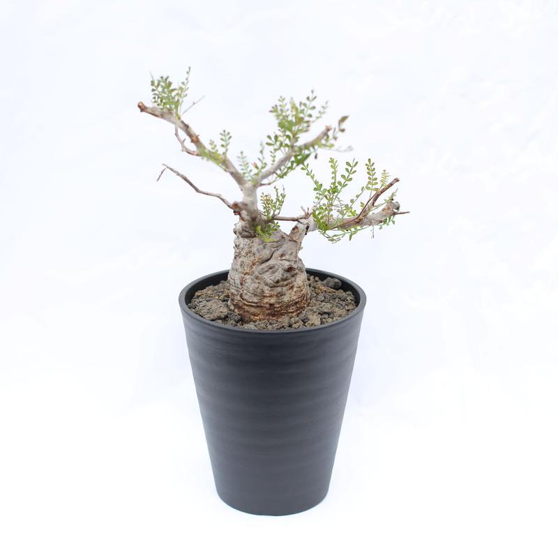 オペルクリカリア パキプス  no.9