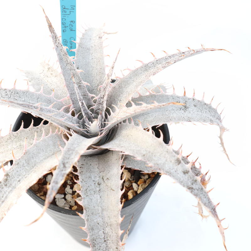 Dyckia  ML Red clone X delicata GF f1