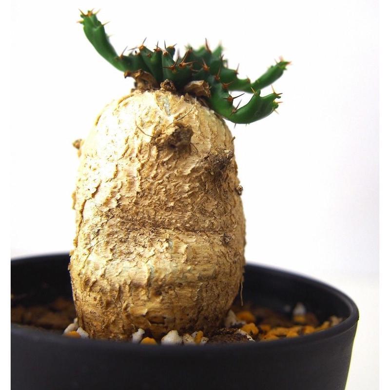 ユーフォルビア ステラータ 飛竜  Euphorbia stellata №3
