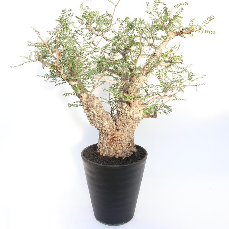 オペルクリカリア パキプス  no.2