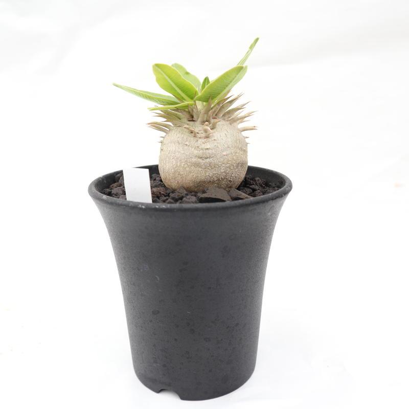 パキポディウム 白花 恵比寿笑い 実生 №7