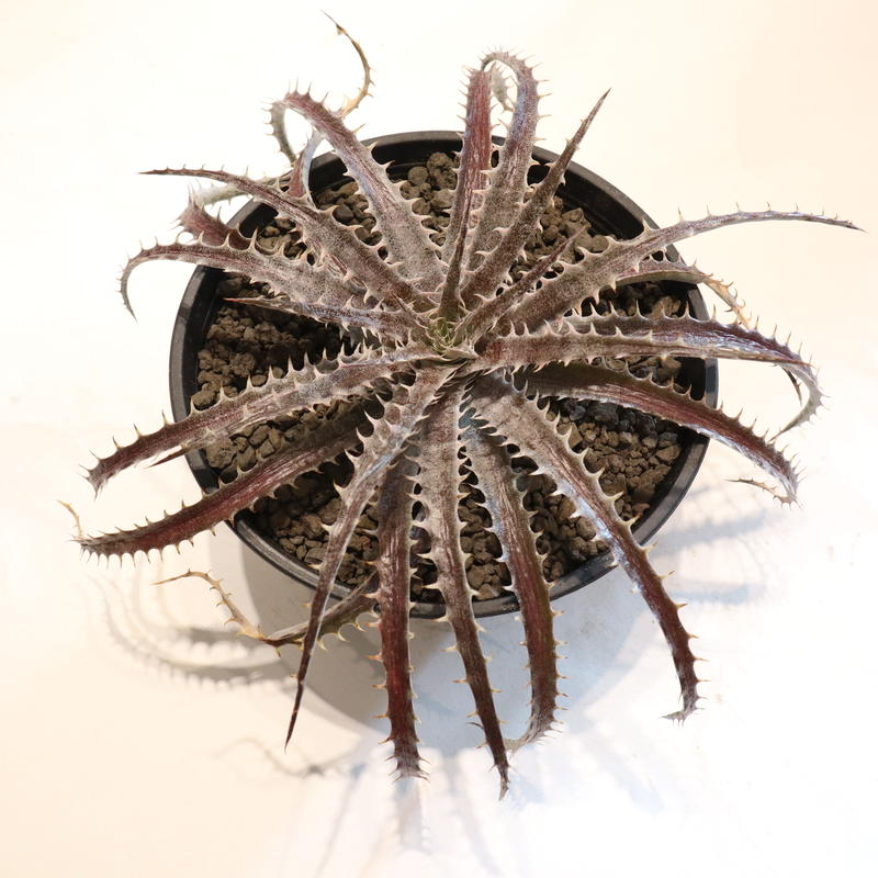 Dyckia delicat GF F1 X (Arizona X ML)