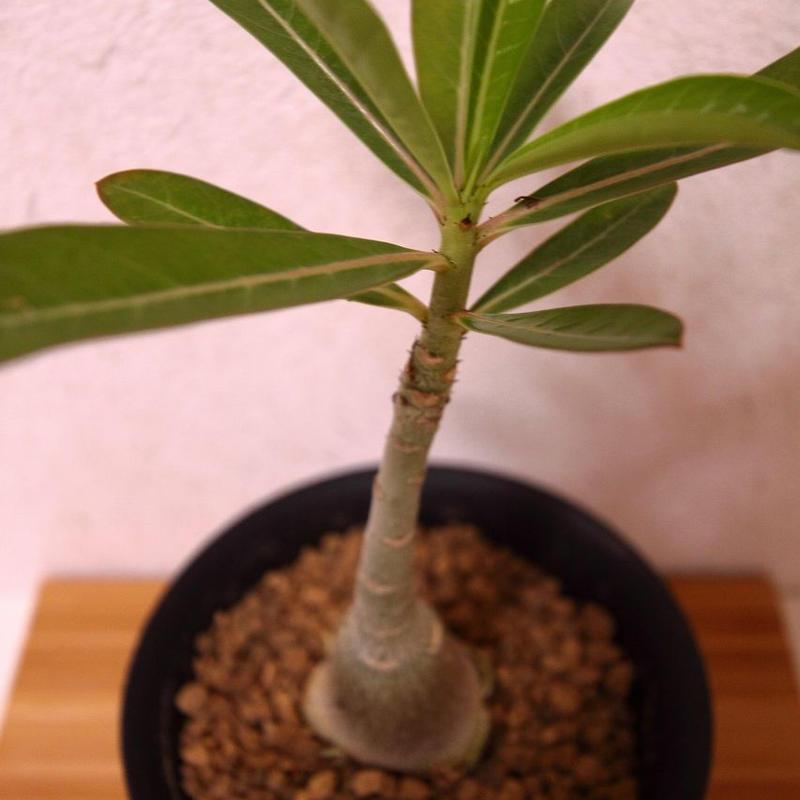 アデニウム 砂漠のバラ Adenium
