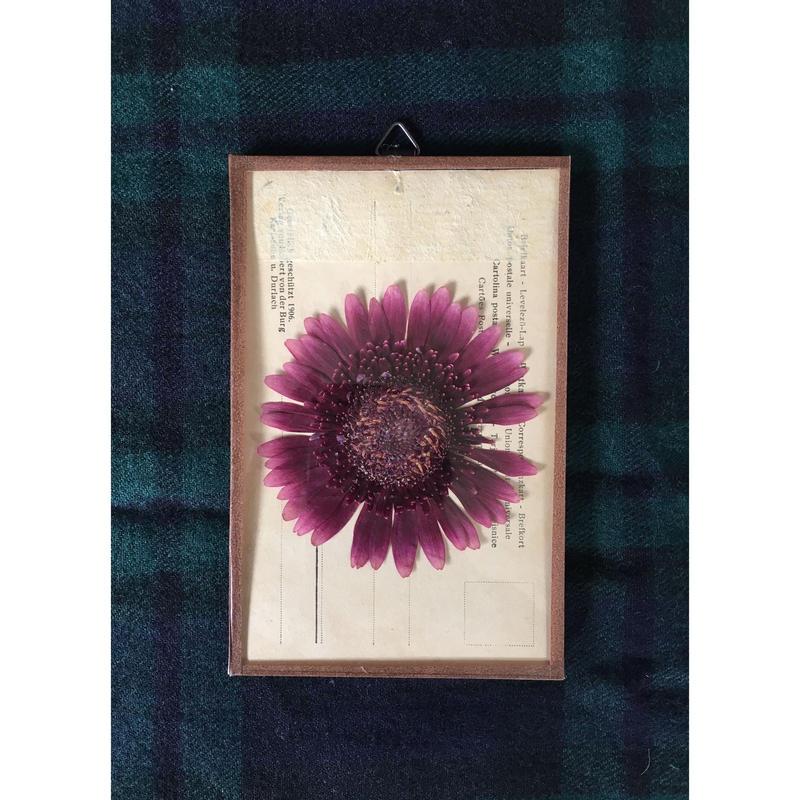 マッチポイントの植物採集カード( ガーベラ)