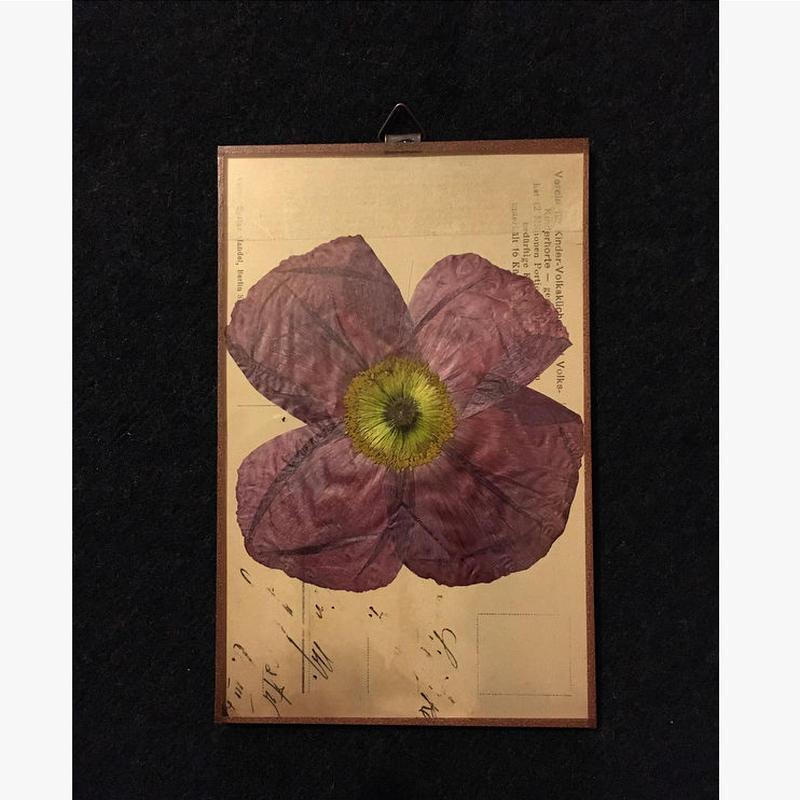 マッチポイントの植物採集カード( ポピー)