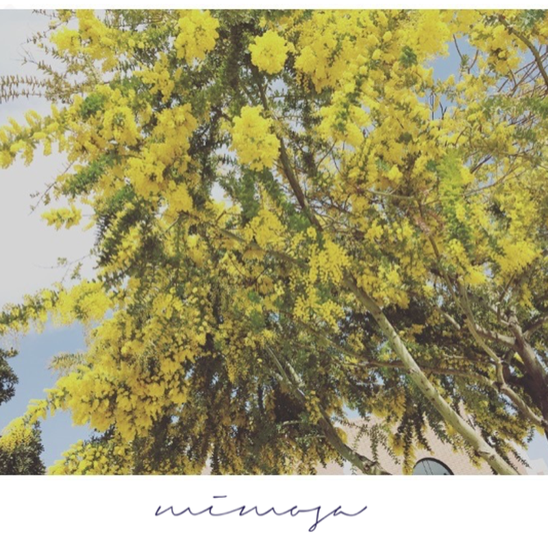 Botanical Collection          【Mimosa】