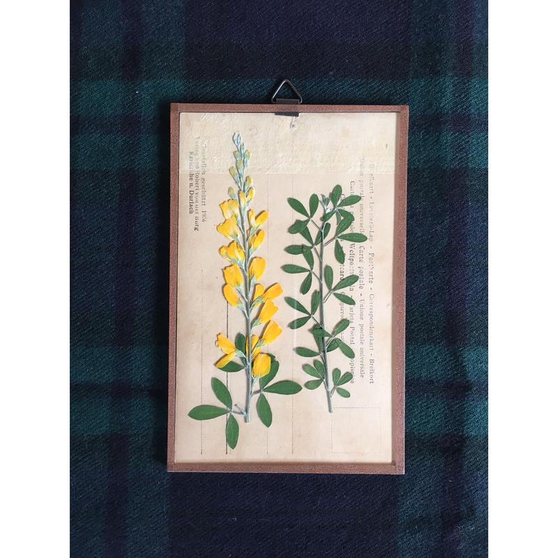 マッチポイントの植物採集カード(エニシダ)