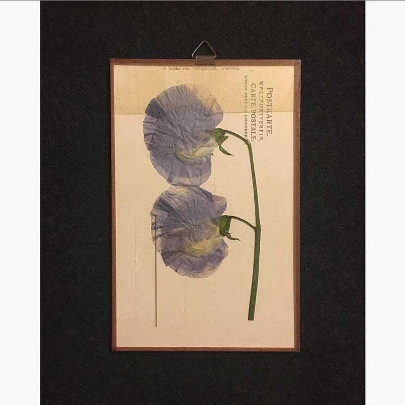 マッチポイントの植物採集カード( スイトピー)