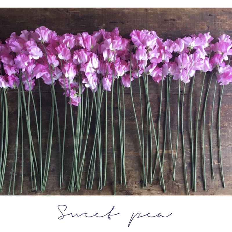 Botanical Collection          【Sweet pea】