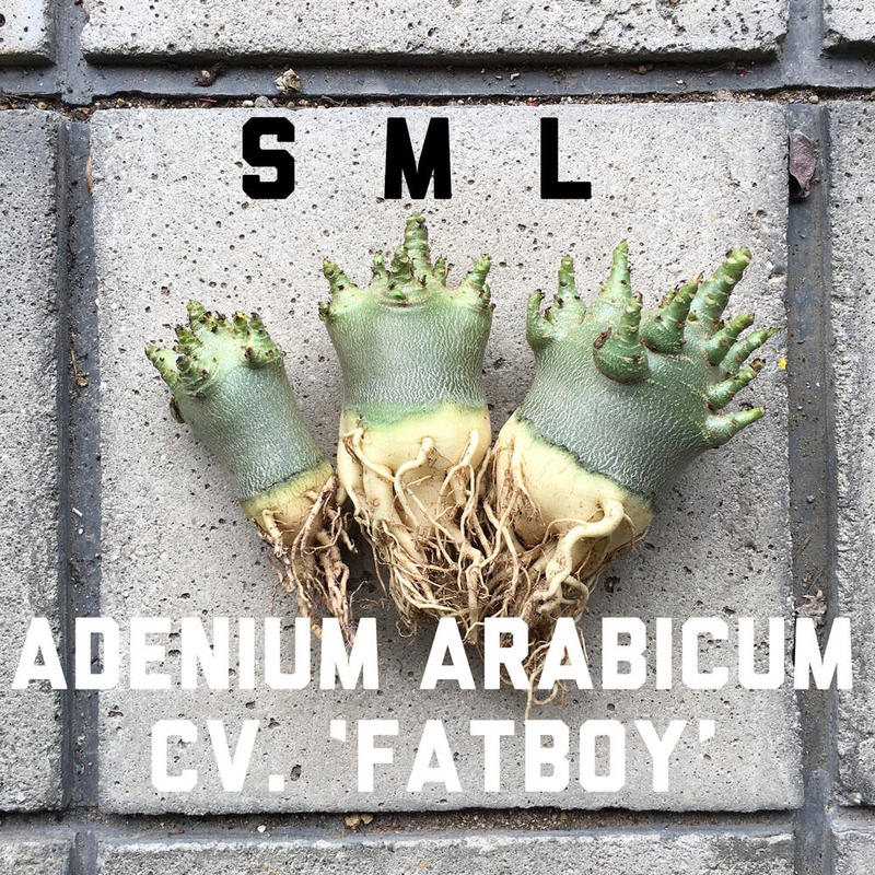 "Lサイズ アデニウム・アラビクム ""ファットボーイ"" Adenium arabicum cv. 'fatboy'"