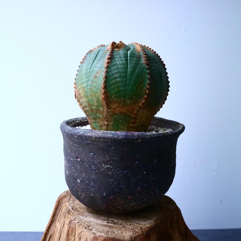 ユーフォルビア  オベサ  Euphorbia obesa  No.029