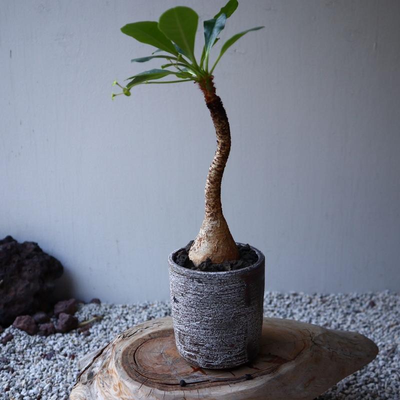 ユーフォルビア  ラメナ   Euphorbia ramena  no.42108