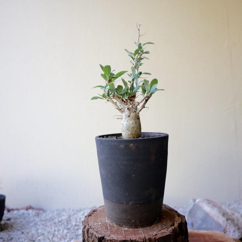 フォークイエリア   コルムナリス   no.011  Fouquieria columnari