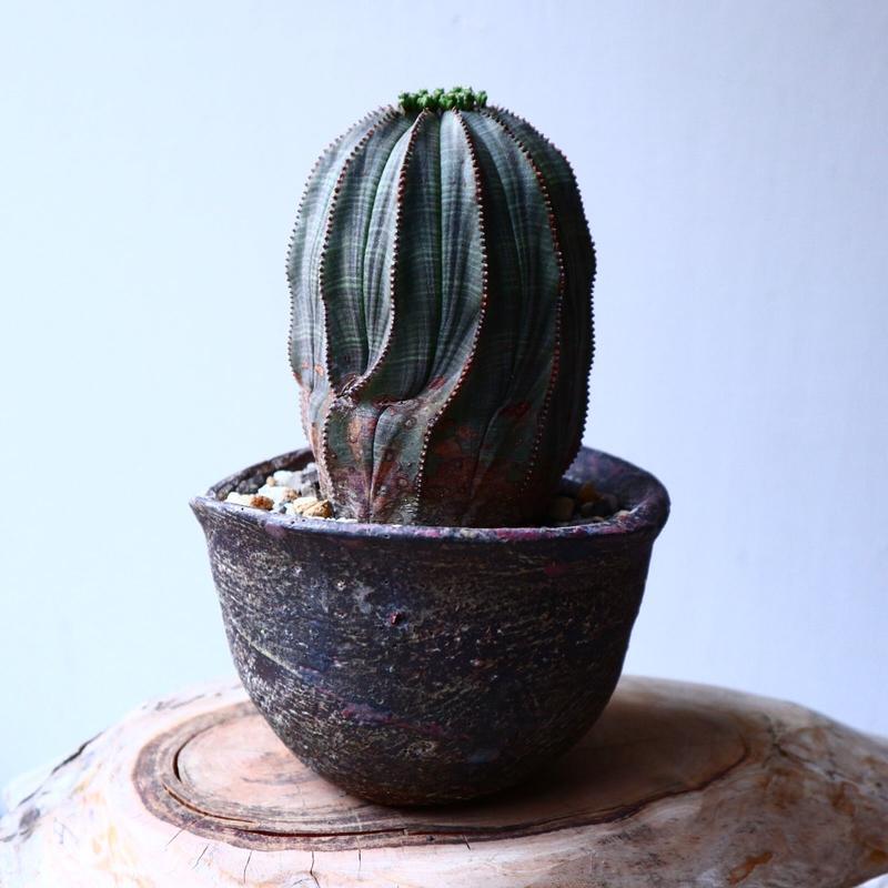 ユーフォルビア  オベサ   Euphorbia obesa   no.20310