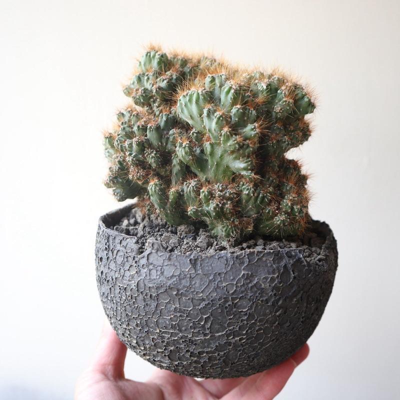 姫金獅子 no.001   Cereus variabilis v. serpentinus f. monst.