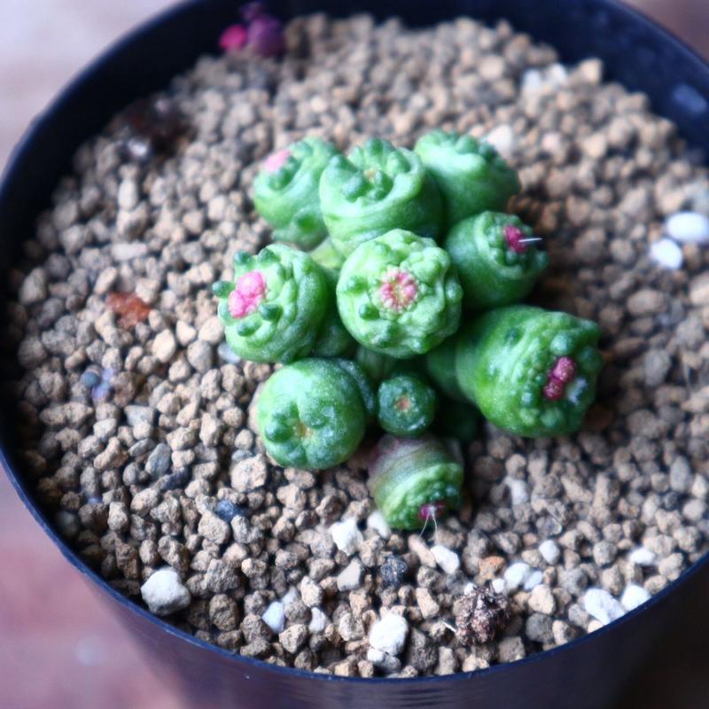 マミラリア ボカサナフレッド  Mammillaria bocasana cv. Fred  no.1116-2