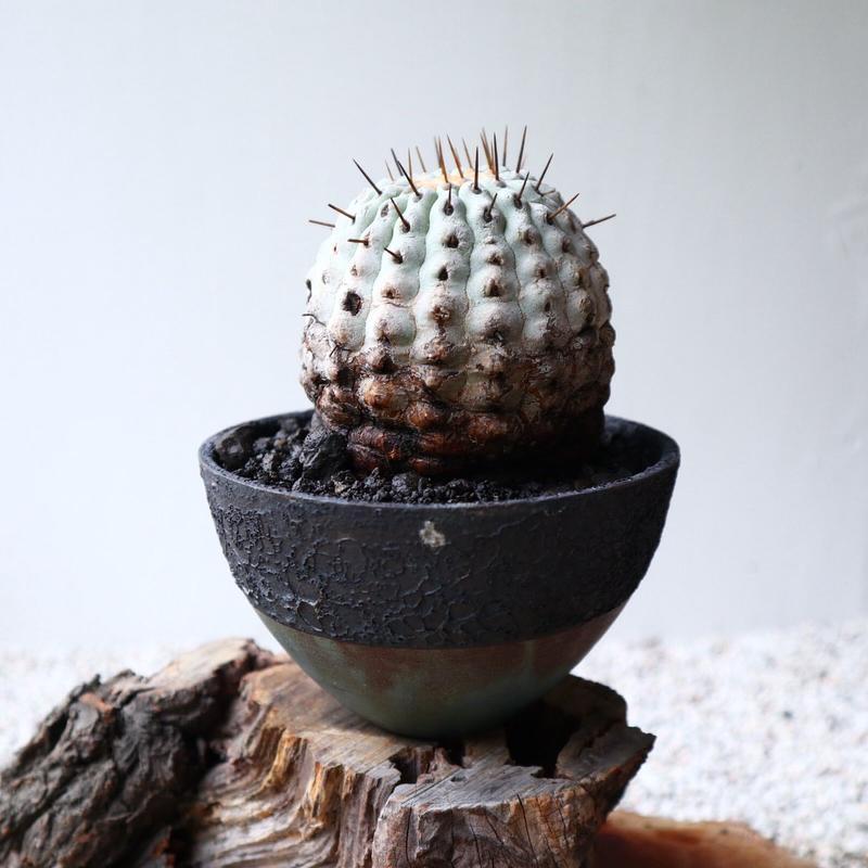 コピアポア 孤竜丸   no.006  Copiapoa cinerea var. columna-alba