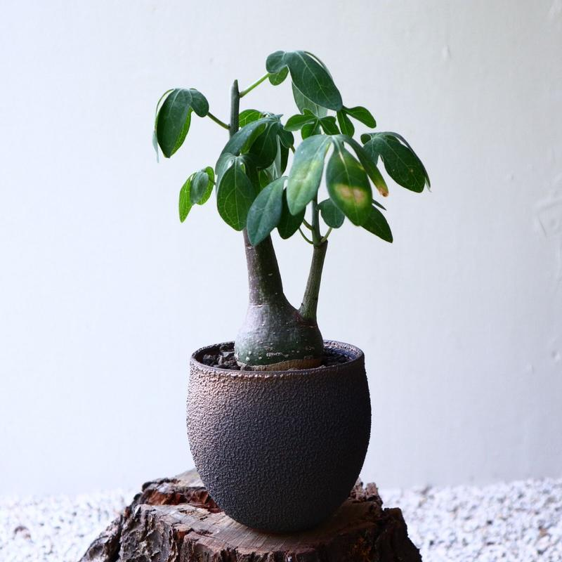 アデニア   グラウカ    Adenia glauca   no.72910