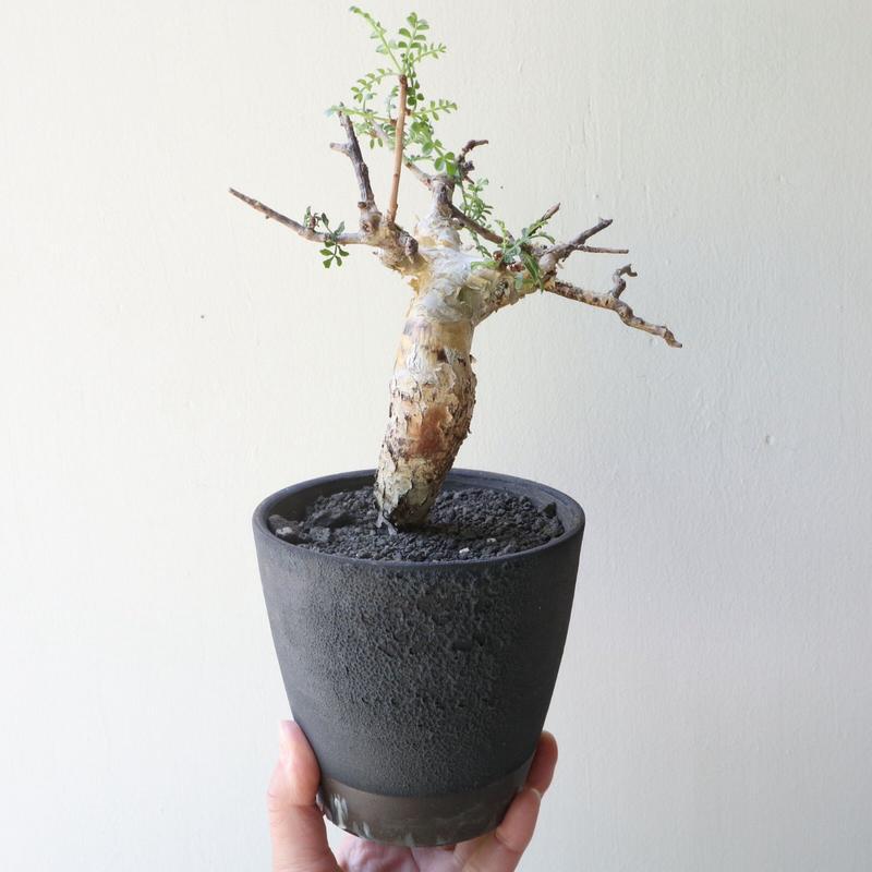 コミフォラ    ピンネイト リーブス   no.002   pinnate leaves