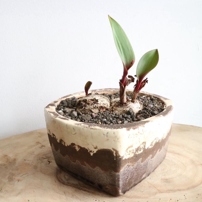 エリオスペルマム    マッケニー   no.001    Eriospermum mackenii