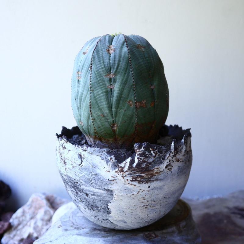 ユーフォルビア  オベサ  ♀  Euphorbia obesa no.60211