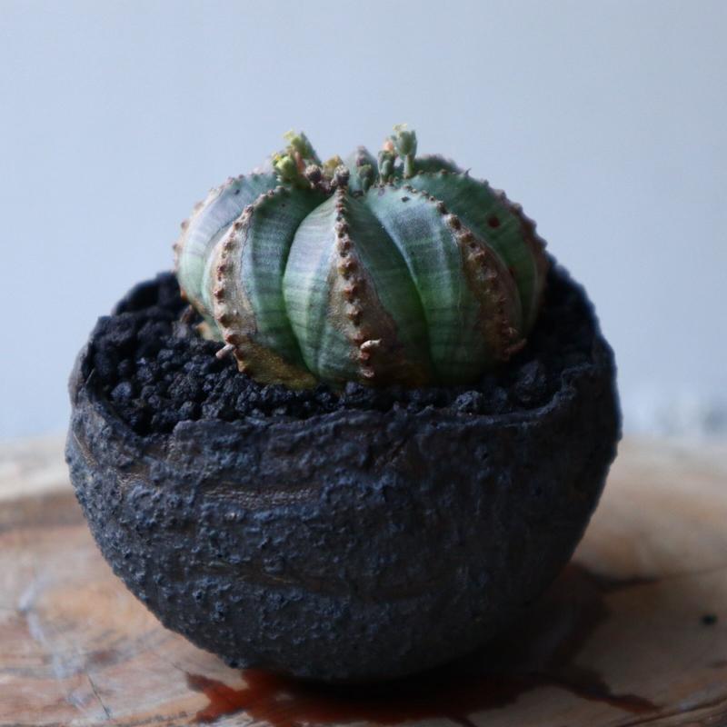 ユーフォルビア  オベサ  ×  バリダ    no.42105
