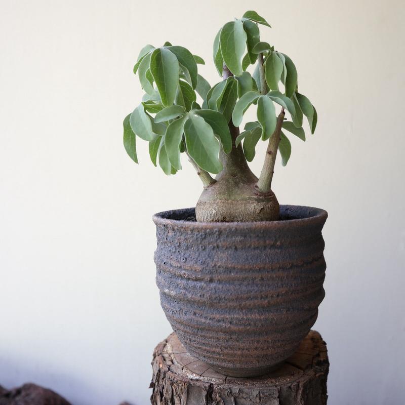 アデニア   スピノーサ  ×  グラウカ  no.002   Adenia  spinosa  ×  glauca
